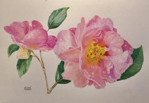 pink-cammelia